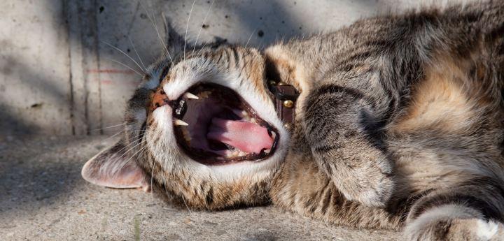 kat søvn sover sove sleep sleeping træt tired cat gabe oversove oversovning træthed